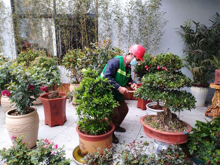 茂源林业技术员在修剪绿化盆景.jpg